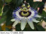 Цветок Пасифлоры (Passiflora) крупным планом. Стоковое фото, фотограф Юлия Алексеева / Фотобанк Лори