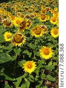 Подсолнухи на полях Болгарии. Стоковое фото, фотограф Юлия Алексеева / Фотобанк Лори