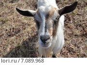Купить «Портрет козы», фото № 7089968, снято 6 марта 2015 г. (c) Карданов Олег / Фотобанк Лори