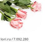 Три розовые розы на белом фоне. Стоковое фото, фотограф Наталья Осипова / Фотобанк Лори