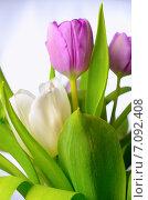 Купить «Сиреневые и белые тюльпаны на светлом фоне», фото № 7092408, снято 7 марта 2015 г. (c) Владислав Осипов / Фотобанк Лори