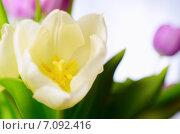 Светло-желтый тюльпан крупным планом. Стоковое фото, фотограф Владислав Осипов / Фотобанк Лори