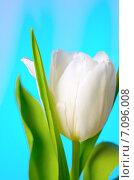 Купить «Белый тюльпан», фото № 7096008, снято 7 марта 2015 г. (c) Владислав Осипов / Фотобанк Лори