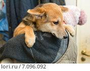 Бездомная молодая собака из приюта на руках женщины. Стоковое фото, фотограф Okssi / Фотобанк Лори