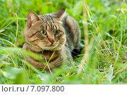 Купить «Домашний кот в траве», фото № 7097800, снято 16 августа 2018 г. (c) Мария Разумная / Фотобанк Лори
