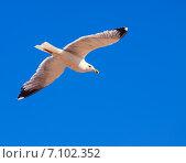 Купить «Soaring seagull», фото № 7102352, снято 12 июня 2013 г. (c) Яков Филимонов / Фотобанк Лори