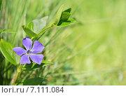 Купить «Барвинок. Цветок на фоне зелёной травы», эксклюзивное фото № 7111084, снято 17 апреля 2014 г. (c) Dmitry29 / Фотобанк Лори
