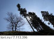 Падающие сосны. Стоковое фото, фотограф Геннадий Георгевич Руденко / Фотобанк Лори