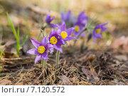 Купить «Весна. Сон-трава на поляне», эксклюзивное фото № 7120572, снято 2 мая 2014 г. (c) Gagara / Фотобанк Лори