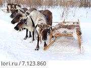 Купить «Упряжка северных домашних оленей», фото № 7123860, снято 14 марта 2015 г. (c) Григорий Писоцкий / Фотобанк Лори
