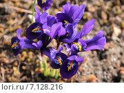Купить «Первые иридодиктиумы», эксклюзивное фото № 7128216, снято 16 марта 2015 г. (c) Ната Антонова / Фотобанк Лори