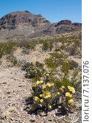 Купить «Цветение Опунции каманчской (Opuntia phaeacantha), креозотовых кустов в пустыне Чиуауа в национальном парке Биг-Бенд (англ. Big Bend) весной», фото № 7137076, снято 28 марта 2014 г. (c) Ирина Кожемякина / Фотобанк Лори
