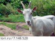 Купить «Белая коза», фото № 7148528, снято 7 сентября 2014 г. (c) Валерий Боярский / Фотобанк Лори