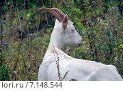Купить «Белая коза на лугу», фото № 7148544, снято 7 сентября 2014 г. (c) Валерий Боярский / Фотобанк Лори