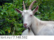 Купить «Белая коза», фото № 7148592, снято 7 сентября 2014 г. (c) Валерий Боярский / Фотобанк Лори