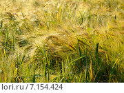 Пшеница. Стоковое фото, фотограф Анна Алексеева / Фотобанк Лори
