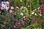 Цветущие розовые кусты на сельскохозяйственном рынке в Италии, фото № 7155120, снято 11 мая 2014 г. (c) Елена Щипкова / Фотобанк Лори