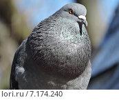 Купить «Сизый голубь (лат. Columba livia)», эксклюзивное фото № 7174240, снято 13 марта 2015 г. (c) lana1501 / Фотобанк Лори