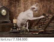 Купить «Кошка породы донской сфинкс со счетами», фото № 7184000, снято 15 февраля 2015 г. (c) Алексей Кузнецов / Фотобанк Лори