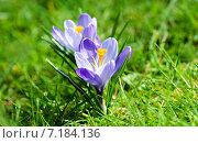 Купить «Красивые весенние крокусы на зеленой поляне», фото № 7184136, снято 19 марта 2015 г. (c) Татьяна Кахилл / Фотобанк Лори