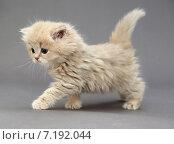 Купить «Маленький британский котенок бежевого цвета идет на сером фоне», фото № 7192044, снято 27 марта 2015 г. (c) Okssi / Фотобанк Лори