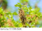 Цветущий дуб обыкновенный или черешчатый (Quercus robur) Стоковое фото, фотограф Алёшина Оксана / Фотобанк Лори
