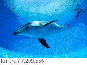 Купить «Дельфин плавает под водой», фото № 7209556, снято 25 июня 2012 г. (c) Andriy Bezuglov / Фотобанк Лори