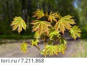 Купить «Норвежский клён (Acer platanoides)», фото № 7211868, снято 26 апреля 2014 г. (c) Анатолий Власов / Фотобанк Лори