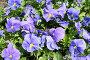 Синие и лиловые фиалки на клумбе, эксклюзивное фото № 7221020, снято 24 мая 2006 г. (c) Солодовникова Елена / Фотобанк Лори