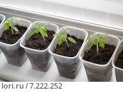 Купить «Рассада помидоров на подоконнике», фото № 7222252, снято 5 апреля 2015 г. (c) Альбина Ялунина / Фотобанк Лори