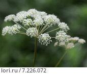 Купить «Соцветие зонтичного растения», эксклюзивное фото № 7226072, снято 4 августа 2014 г. (c) Wanda / Фотобанк Лори