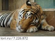 Купить «Тигр в зоопарке», фото № 7226872, снято 4 августа 2012 г. (c) Акоп Васильян / Фотобанк Лори