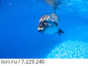Купить «Портрет дельфина под водой», фото № 7229240, снято 25 июня 2012 г. (c) Andriy Bezuglov / Фотобанк Лори