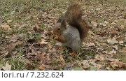 Купить «Белка ест орех в парке», видеоролик № 7232624, снято 7 апреля 2015 г. (c) Терешко Сергей / Фотобанк Лори
