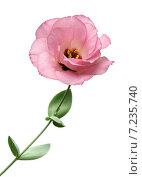 Купить «Розовый лизиантус на белом фоне», эксклюзивное фото № 7235740, снято 13 августа 2014 г. (c) Wanda / Фотобанк Лори