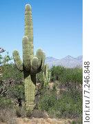 Купить «Кактус корнелия гигантская (Carnegiea gigantea) среди мескитовых деревьев. Saguaro National Park, Arizona, USA», фото № 7246848, снято 1 апреля 2015 г. (c) Ирина Кожемякина / Фотобанк Лори