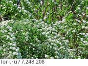 Купить «Декоративный кустарник Спирея Вангутта (Spiraea vanhouttei)», эксклюзивное фото № 7248208, снято 17 мая 2012 г. (c) Алёшина Оксана / Фотобанк Лори