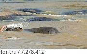 Купить «Слон в реке, Шри-Ланка», видеоролик № 7278412, снято 14 апреля 2015 г. (c) Михаил Коханчиков / Фотобанк Лори