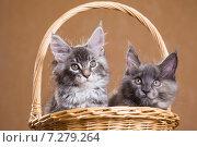 Купить «Котята породы мейн-кун в корзине», фото № 7279264, снято 5 августа 2014 г. (c) Gagara / Фотобанк Лори
