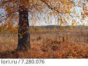 Березы осенью. Осенний пейзаж. Стоковое фото, фотограф Виталий Горелов / Фотобанк Лори