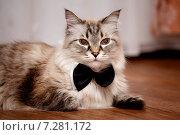 Кот породы Невская маскарадная в галстуке-бабочка. Стоковое фото, фотограф Анна Алексеенко / Фотобанк Лори