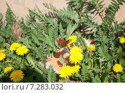 Бабочка и одуванчики. Стоковое фото, фотограф Виктор Мандриков / Фотобанк Лори