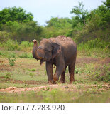 Купить «Дикий индийский слон поднимает хобот», фото № 7283920, снято 14 марта 2015 г. (c) Михаил Коханчиков / Фотобанк Лори