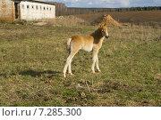 Купить «Красивый жеребенок месячного возраста играет на траве», фото № 7285300, снято 16 апреля 2015 г. (c) Дмитрий Сакретарев / Фотобанк Лори