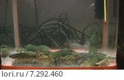 Раки в аквариуме. Стоковое видео, видеограф Евгений Пивоваров / Фотобанк Лори