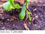 Купить «Зеленый спелый огурец на ветке в теплице», фото № 7293868, снято 11 августа 2013 г. (c) Евгений Ткачёв / Фотобанк Лори