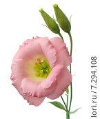 Купить «Розовый лизиантус. Крупный план», фото № 7294108, снято 25 августа 2014 г. (c) Wanda / Фотобанк Лори