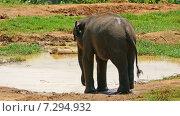 Слон пьет из лужи (2015 год). Стоковое видео, видеограф Михаил Коханчиков / Фотобанк Лори