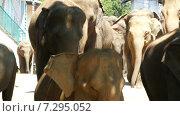 Слоны идут по улице, Шри-Ланка (2015 год). Стоковое видео, видеограф Михаил Коханчиков / Фотобанк Лори