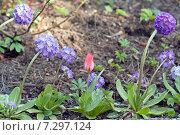 Купить «Примула мелкозубчатая (Primula denticulata)   и красный  тюльпан. Первоцветы», эксклюзивное фото № 7297124, снято 22 апреля 2015 г. (c) Svet / Фотобанк Лори